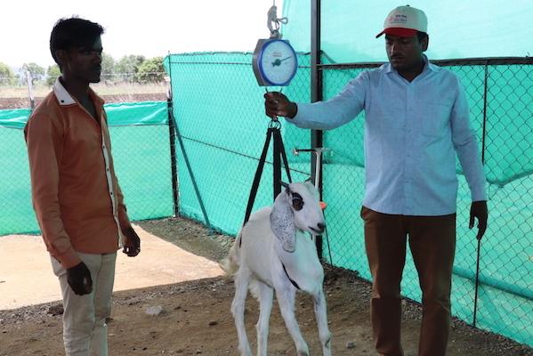 Weight Based Goat Marketing
