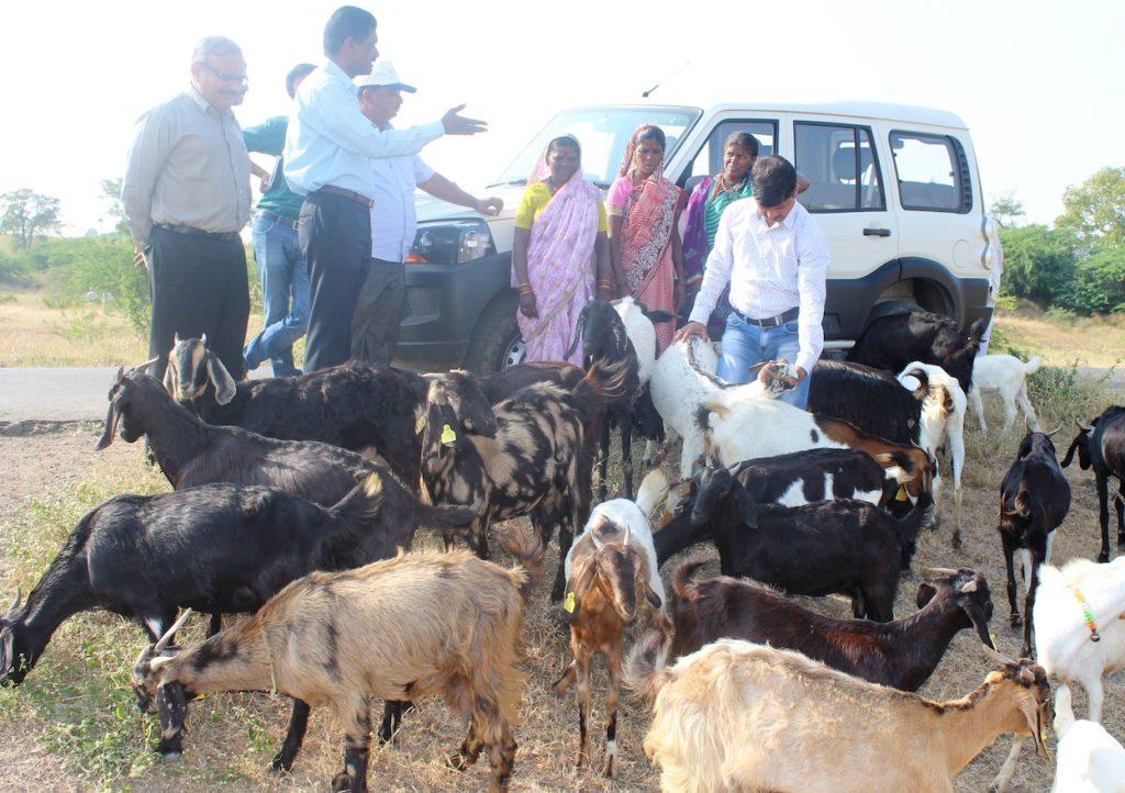 SavitriBai Phule Goat Farming Producer Company Ltd  – Yuva Mitra